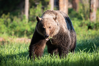 The Grizzly Approaches