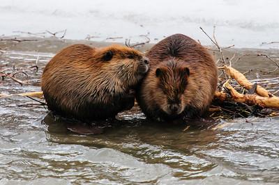 Beaver-1596