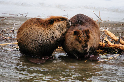 Beaver-1607