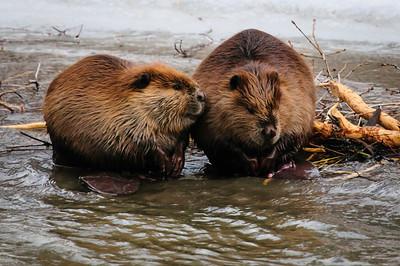 Beaver-1605