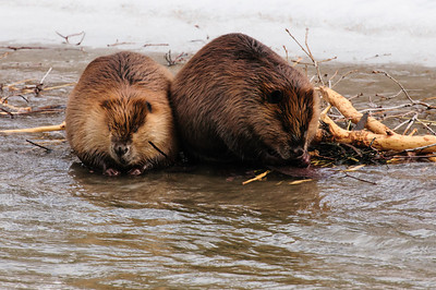 Beaver-1396