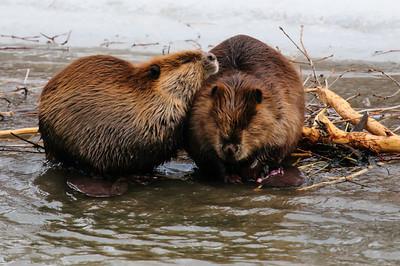 Beaver-1619