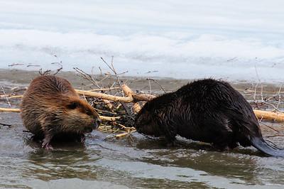 Beaver-1201