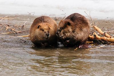 Beaver-1407