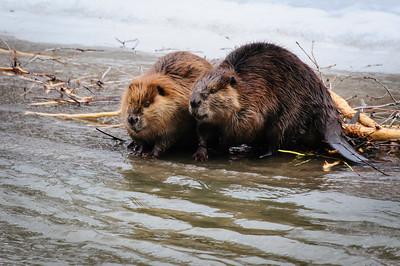 Beaver-1246
