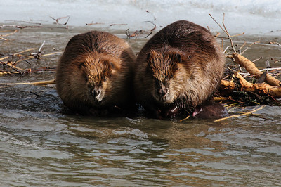 Beaver-1430
