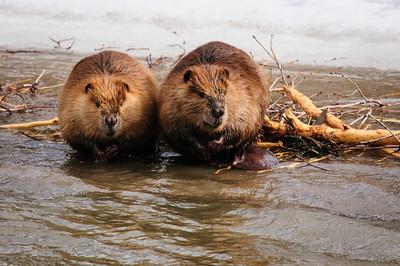 Beaver-1402