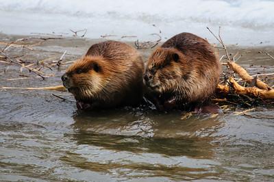 Beaver-1421