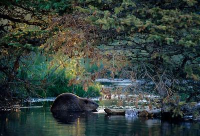 Beaver-107