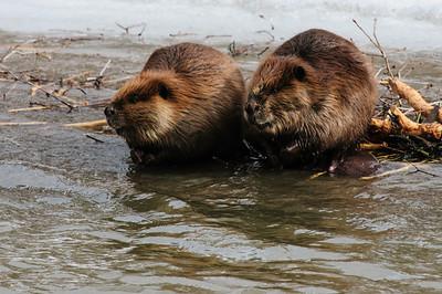 Beaver-1425
