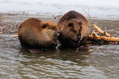 Beaver-1625