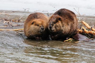Beaver-1351