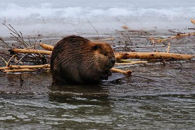 Beaver-1035