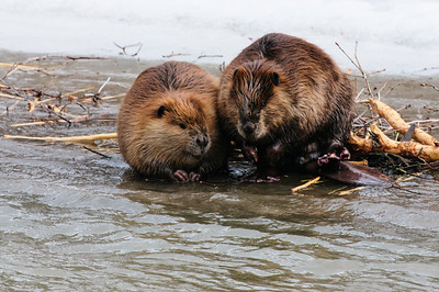 Beaver-1359