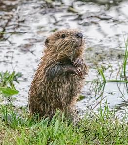 Baby Beaver #2