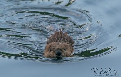Baby Beaver Swimming