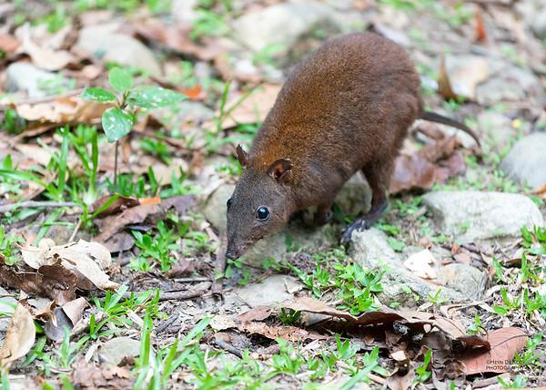 Musky Rat-kangaroo, Lake Eacham, Dec 2014-1