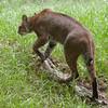 Florida bobcat