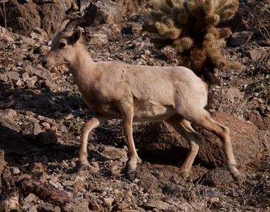 Bighorn Sheep near Borego Springs 2010 02 18 (9 of 14).CR2