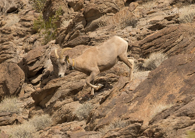 Big-horned Sheep Zzyzx 2018 05 06-4.CR2