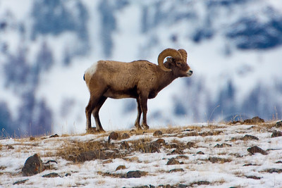 Bighorn Ram on the Edge