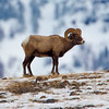 Bighorn Ram on the Edge