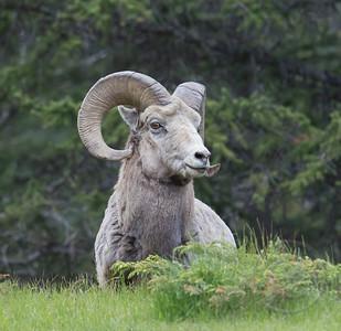 Bighorn Ram Watching
