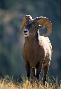 Bighorn Sheep-129