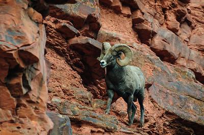Bighorn Sheep-6832