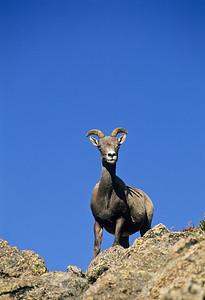 Bighorn Sheep-144