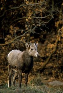 Bighorn Sheep-165