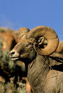 Bighorn Sheep-150