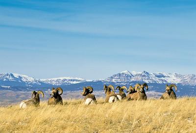 Bighorn Sheep-123