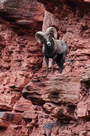 Bighorn Sheep-6769