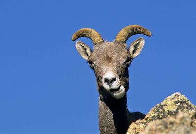 Bighorn Sheep-132