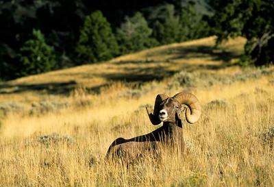 Bighorn Sheep-114