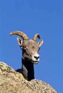Bighorn Sheep-145