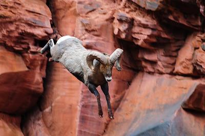Bighorn Sheep-6715