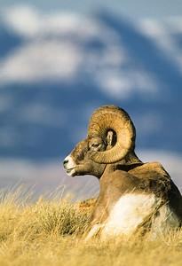 Bighorn Sheep-120