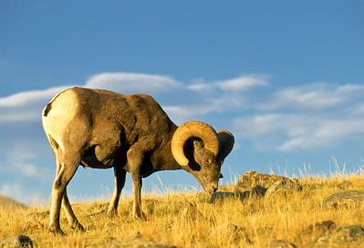 Bighorn Sheep-151