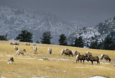 Bighorn Sheep-185