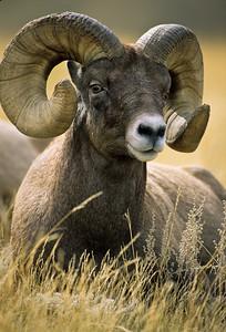 Bighorn Sheep-104