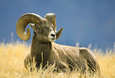 Bighorn Sheep-101