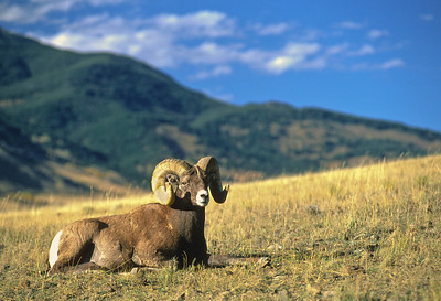 Bighorn Sheep-174