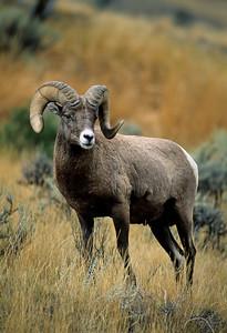 Bighorn Sheep-108