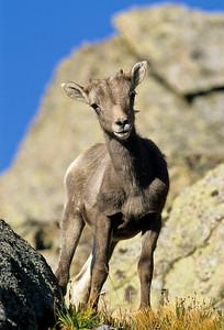 Bighorn Sheep-135