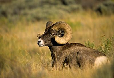 Bighorn Sheep-193