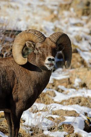 Bighorn Sheep-214