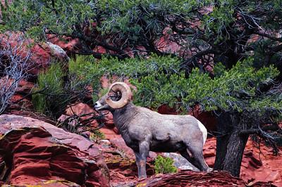 Bighorn Sheep-6818