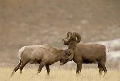 Bighorn Sheep-178